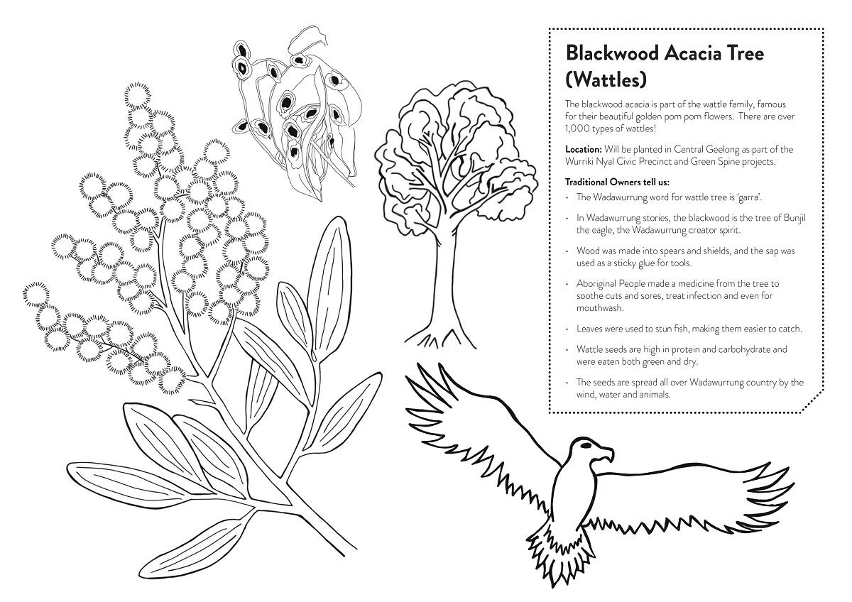 Blackwood Acacia Tree colouring in sheet